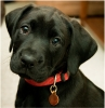 Club canin : les labradors decinois