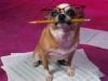 Club canin : Les tout-tout fou