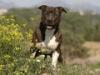 Club canin : acdc staff