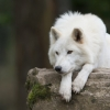 Club canin : La lune du loup