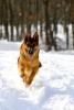 Club canin : I Love My German Shepherd
