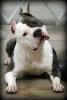Club canin : l'espoir et la beauté Italienne