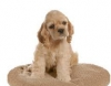 Club canin : le chien d or