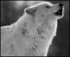 Club canin : Loup d'Arctique
