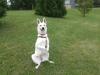 Club canin : des elfes blancs