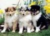 Club canin : Le club du Colley Dorée
