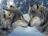 Club canin : Esprit de Loup
