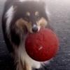 Anachronie - éleveur canin Dogzer