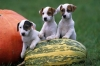 Juju.gessy - éleveur canin Dogzer