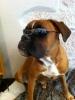manoule - éleveur canin Dogzer