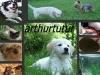 arthurtutur - éleveur canin Dogzer