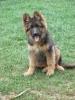framboisesarina - éleveur canin Dogzer