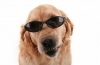 capuce-21 - éleveur canin Dogzer