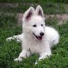 seraphine1 - éleveur canin Dogzer