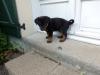 cece87270 - éleveur canin Dogzer