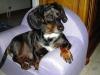 meljorcas - éleveur canin Dogzer