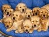 -raph43370- - éleveur canin Dogzer