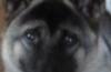 umeko - éleveur canin Dogzer