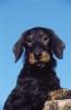 hellou - éleveur canin Dogzer