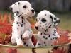 DalaiAdaia - éleveur canin Dogzer