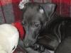 DAPHNETTE - éleveur canin Dogzer