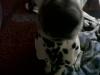 MamzelleMel - éleveur canin Dogzer