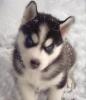 melaniegonc - éleveur canin Dogzer