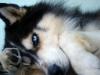 wolfy33 - éleveur canin Dogzer