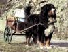 pyratiane - éleveur canin Dogzer