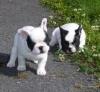 hadj.fr_fr - éleveur canin Dogzer