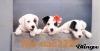 nic-nac3223 - éleveur canin Dogzer