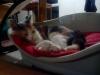 ttotoms - éleveur canin Dogzer