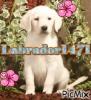 Labrador1471 - éleveur canin Dogzer