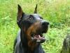 Saponou - éleveur canin Dogzer
