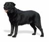 laika004 - éleveur canin Dogzer