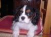 Ambryme1 - éleveur canin Dogzer