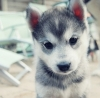 Sinnie - éleveur canin Dogzer