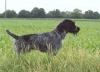 turine - éleveur canin Dogzer