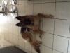Missloveyou - éleveur canin Dogzer