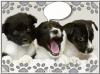 bzpopa - éleveur canin Dogzer