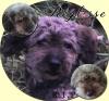 reglisse76 - éleveur canin Dogzer
