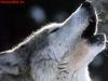 Snowdu41 - éleveur canin Dogzer