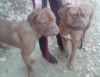 BrowNii - éleveur canin Dogzer