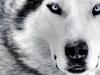 ratco67 - éleveur canin Dogzer