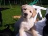 boulette.h - éleveur canin Dogzer