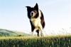 boutdechoudu42 - éleveur canin Dogzer
