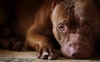 abidilou - éleveur canin Dogzer