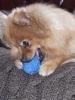 Taugo - éleveur canin Dogzer