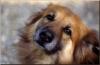 chacha0049 - éleveur canin Dogzer