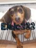 Elolo222 - éleveur canin Dogzer